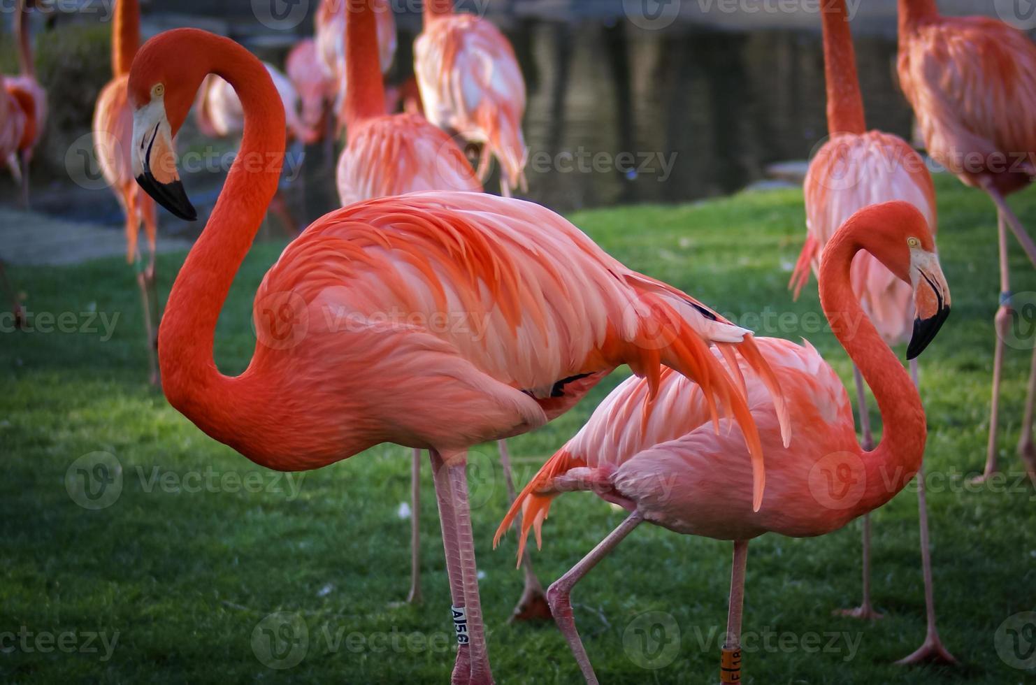 flamenco rosado brillante en el fondo verde foto