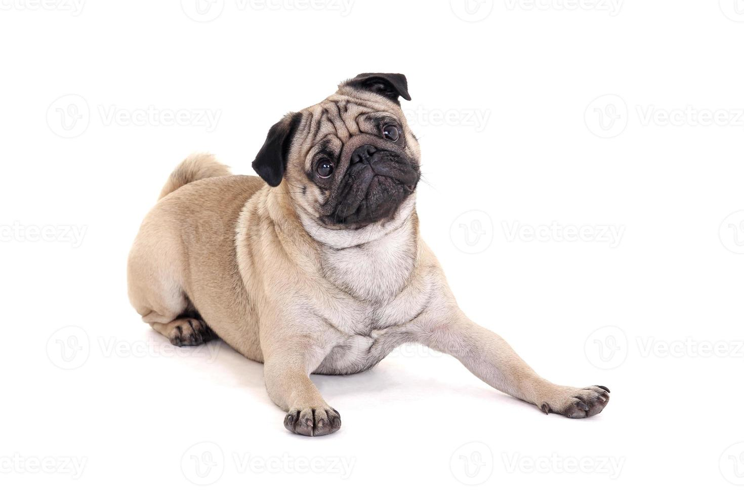 cute pug dog lying over white photo