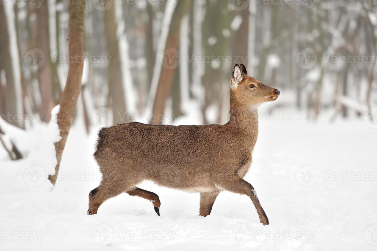 Young deer photo