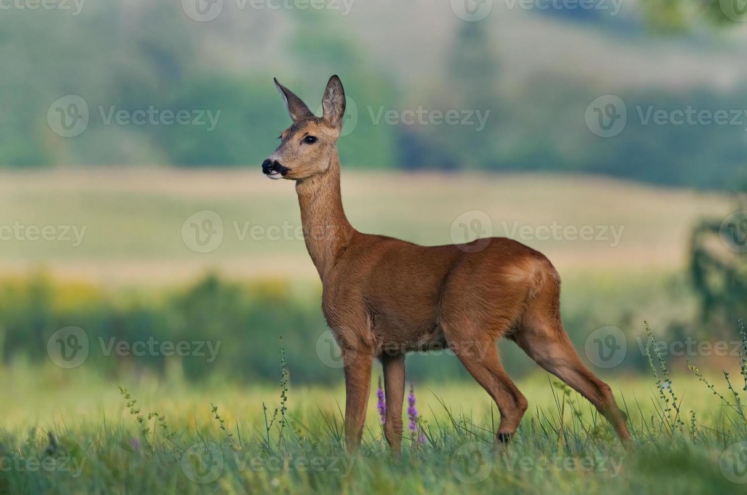 Roe deer in a field photo