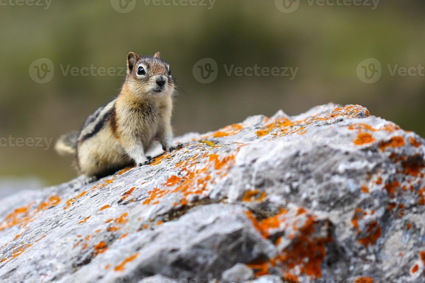 Chipmunk on rock photo