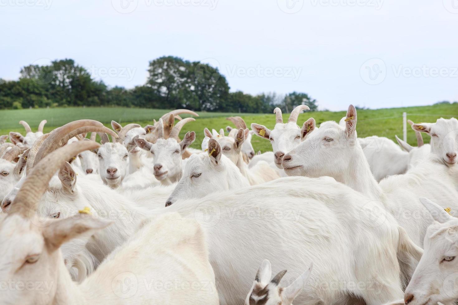 rebaño de cabras en pasto foto