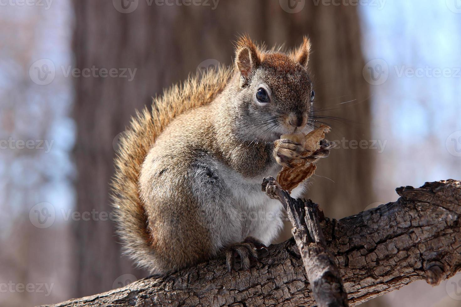 Red squirrel on branch photo