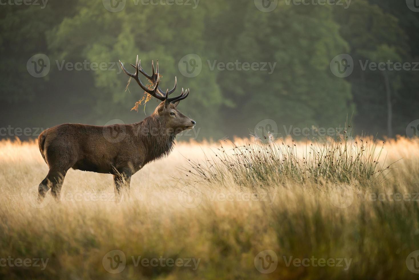 Red Deer Stag (Cervus elaphus) photo