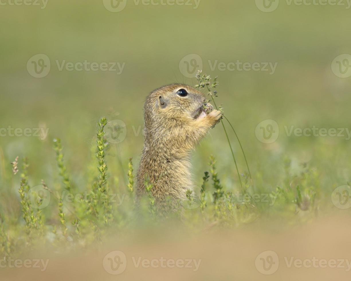 Ground squirrel, gopher cub (Spermophilus citellus) photo