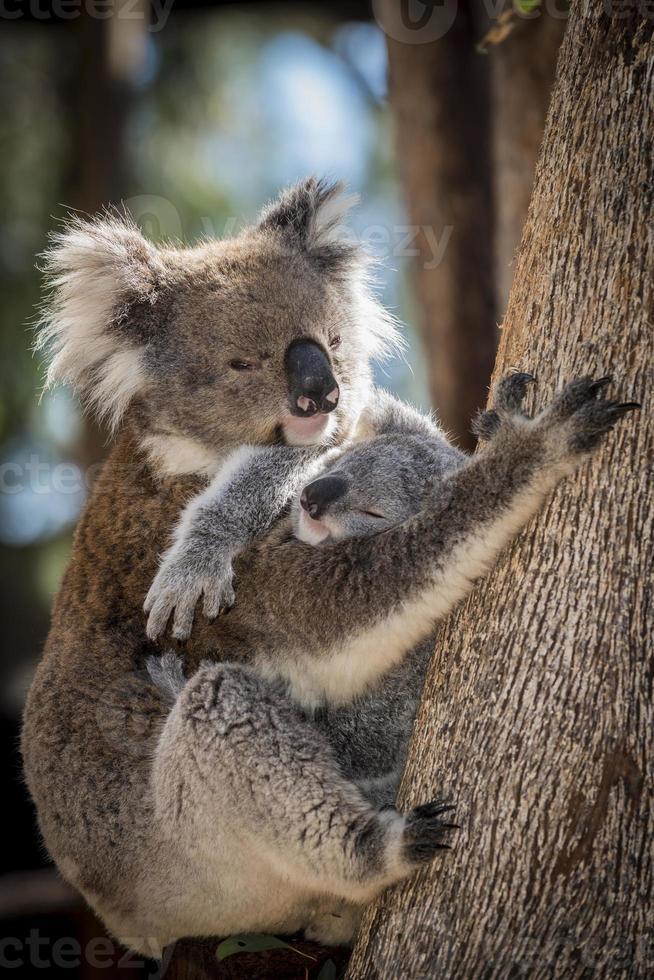 Koala mother cradling sleeping joey on eucalyptus tree trunk, Australia photo