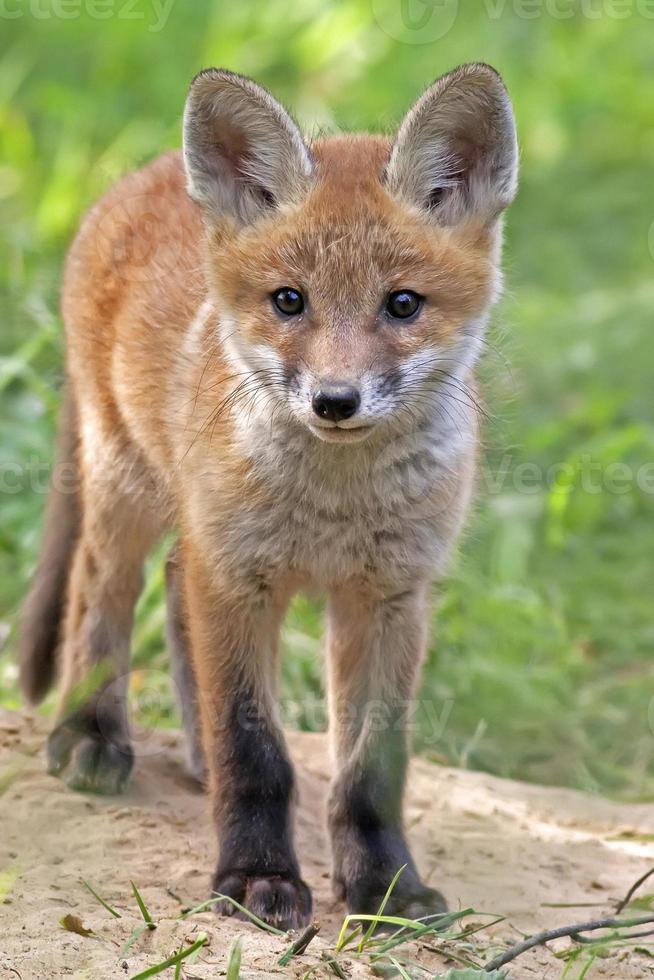 Fox in the wild photo