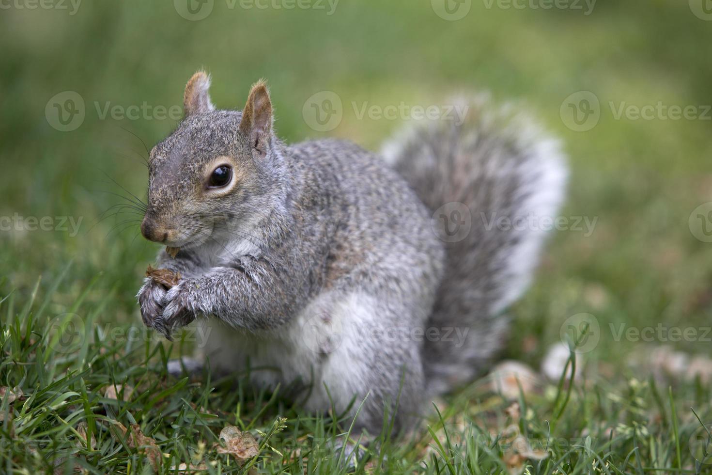 Ardilla de árbol gris alimentándose en el suelo foto