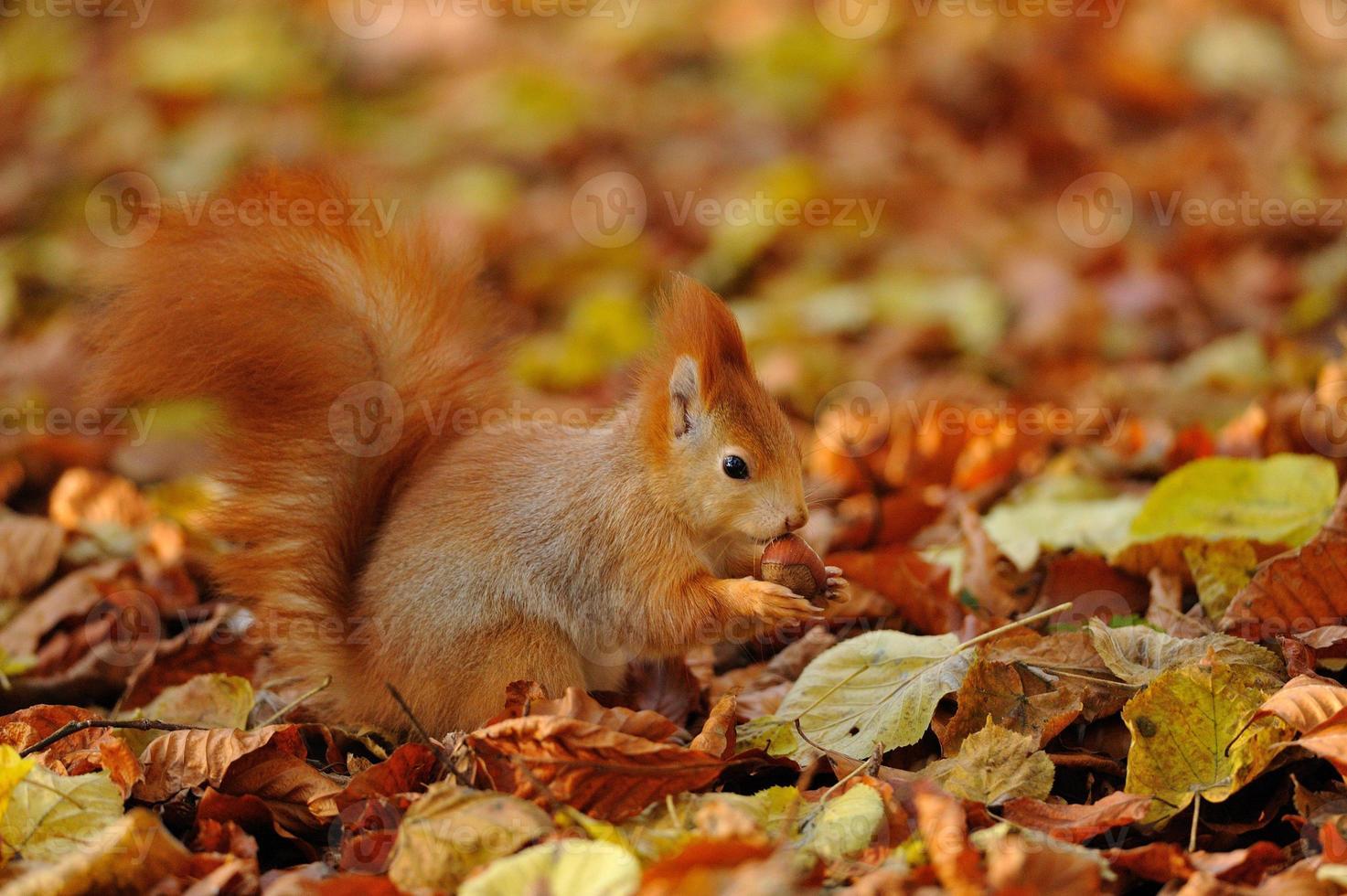 ardilla roja de pie con avellana en hojas de colores foto