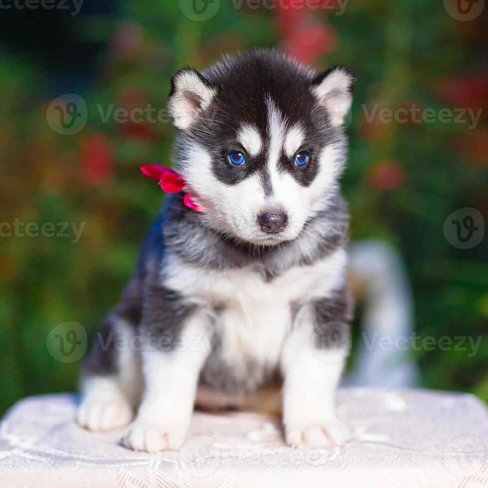 cachorro de husky siberiano foto