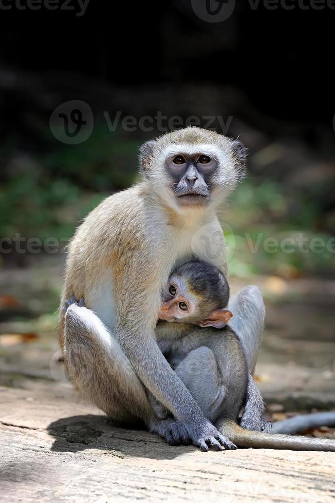 mono en una piedra foto