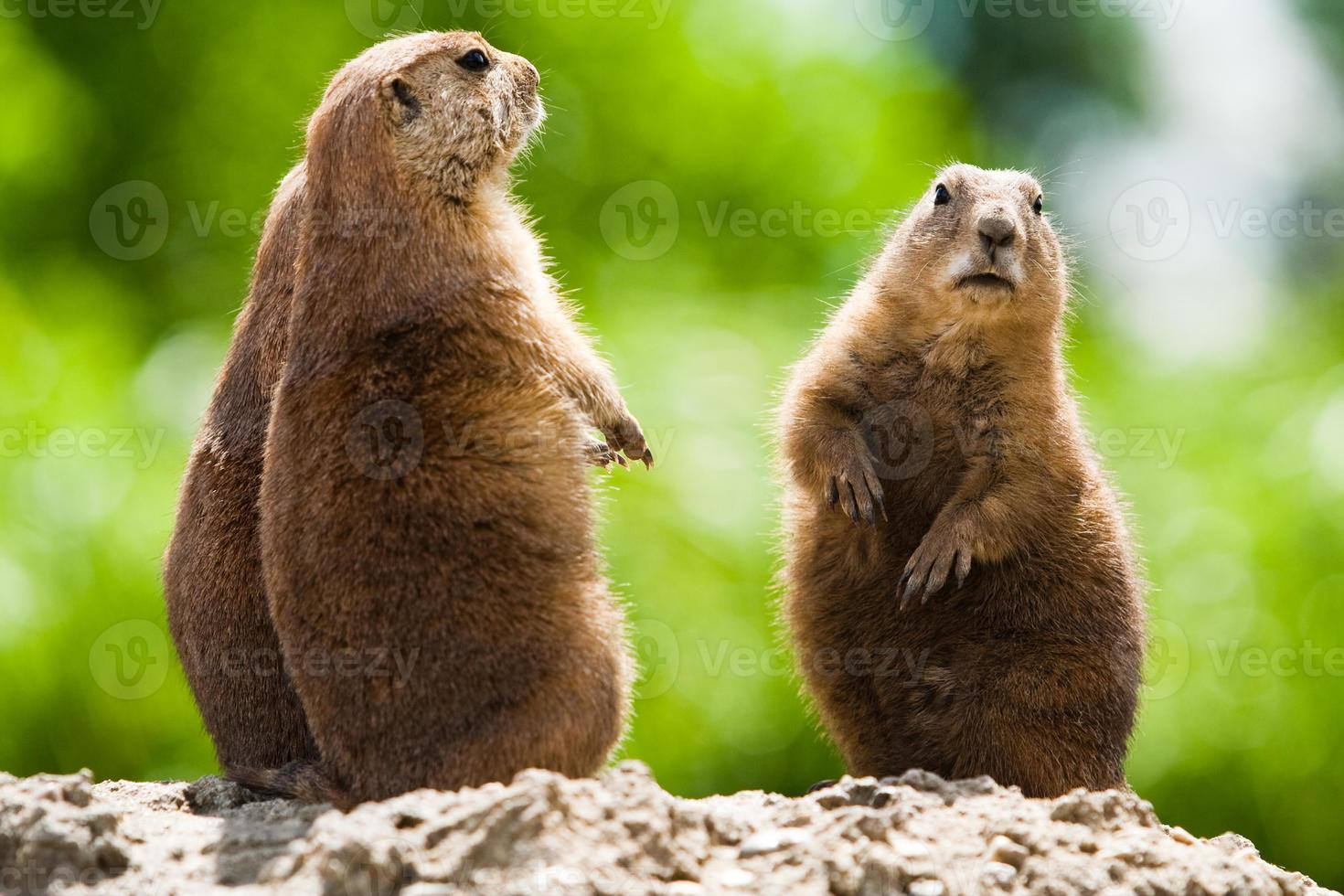 Group of prairie dogs photo