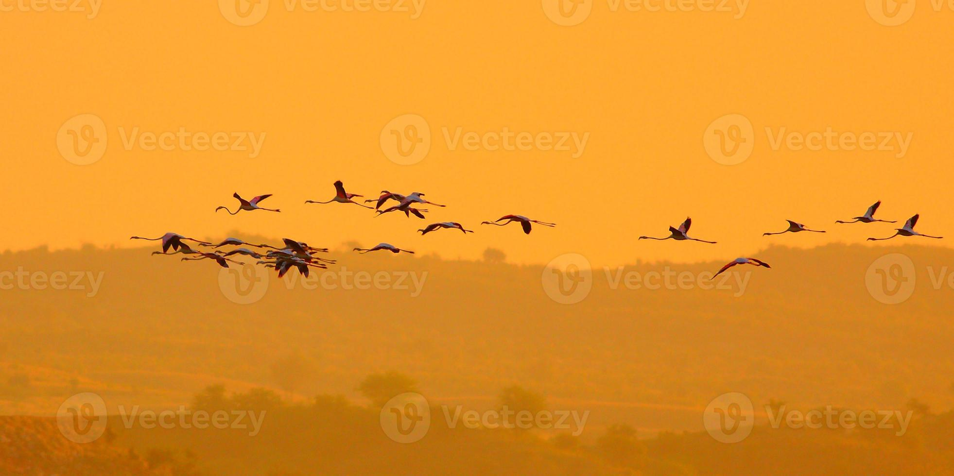 Wild greater flaminoges photo