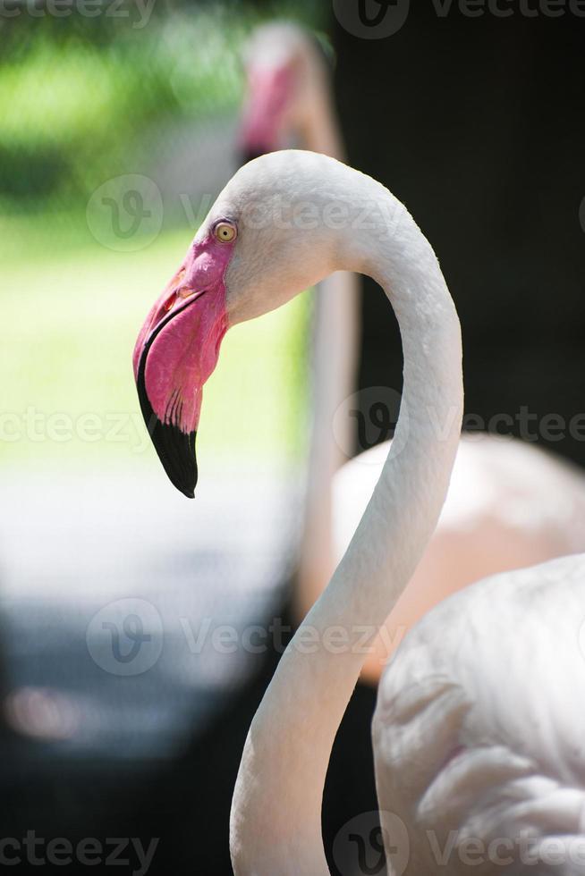 Flamingo Close up photo
