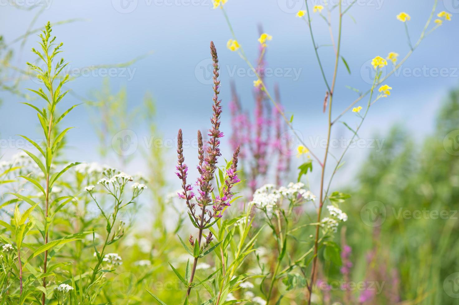 purple loosestrife and other flowers photo