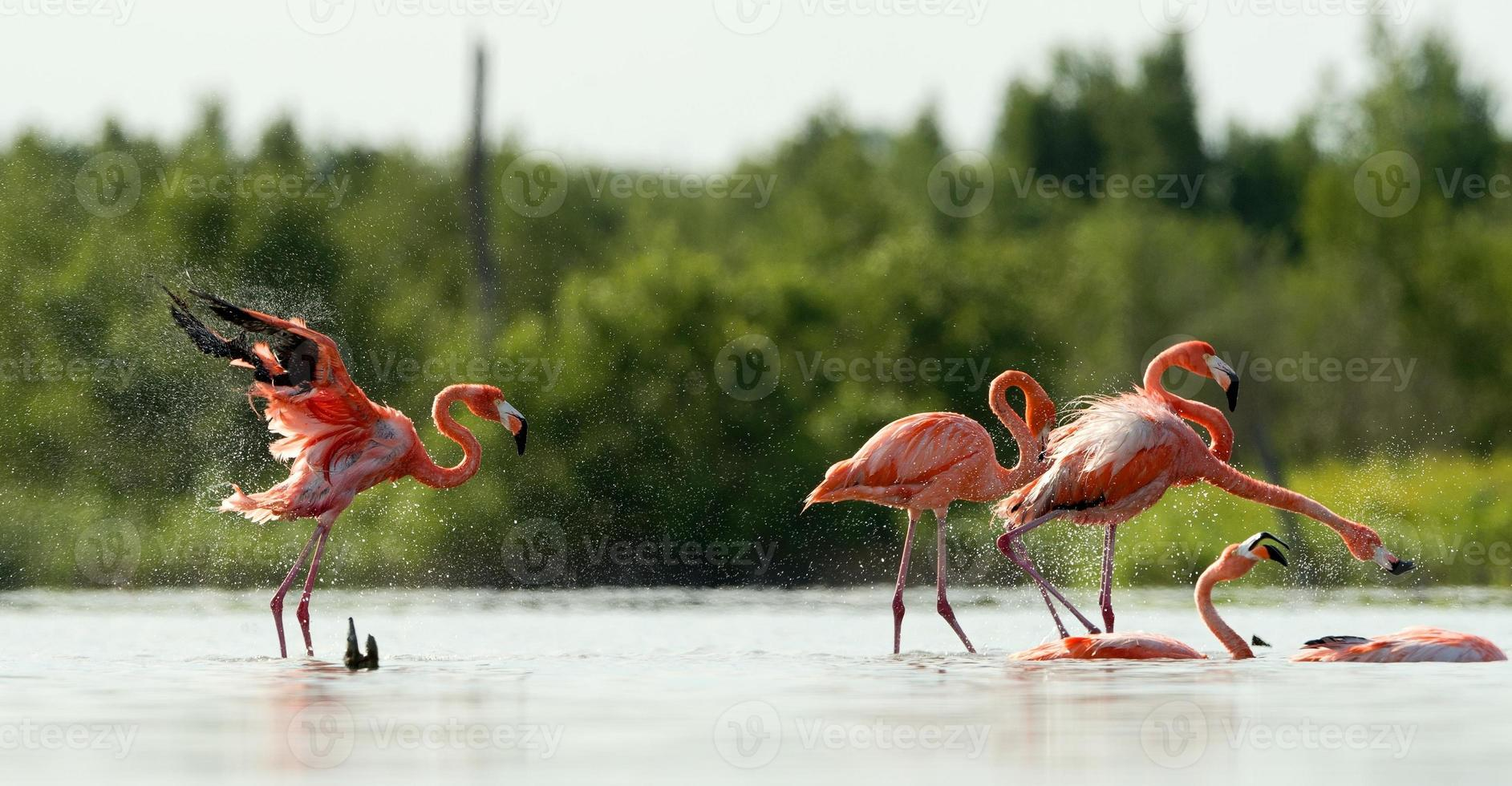 The flamingo runs on water with splashes photo