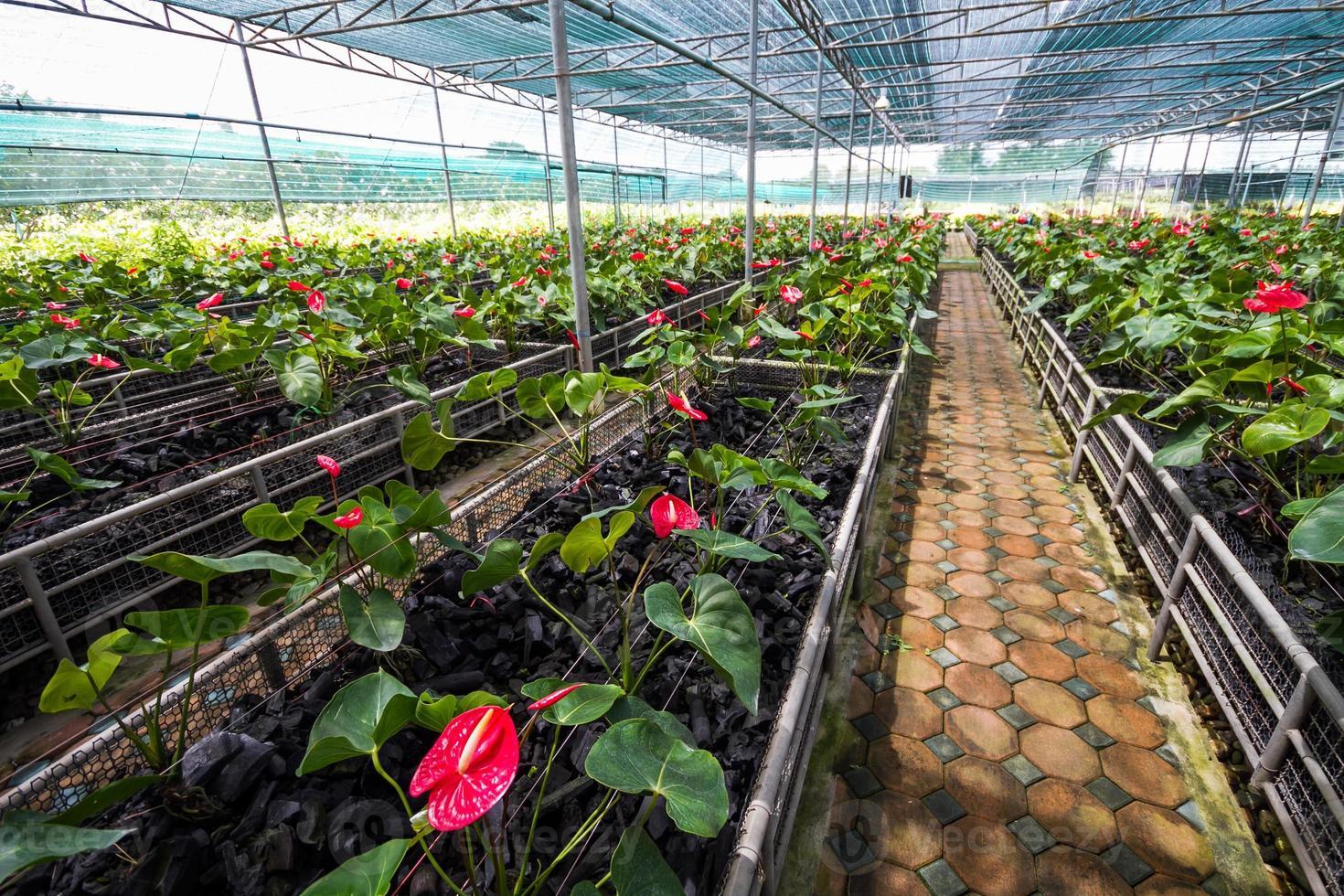Anthurium rojo o jardín de flores de flamenco foto