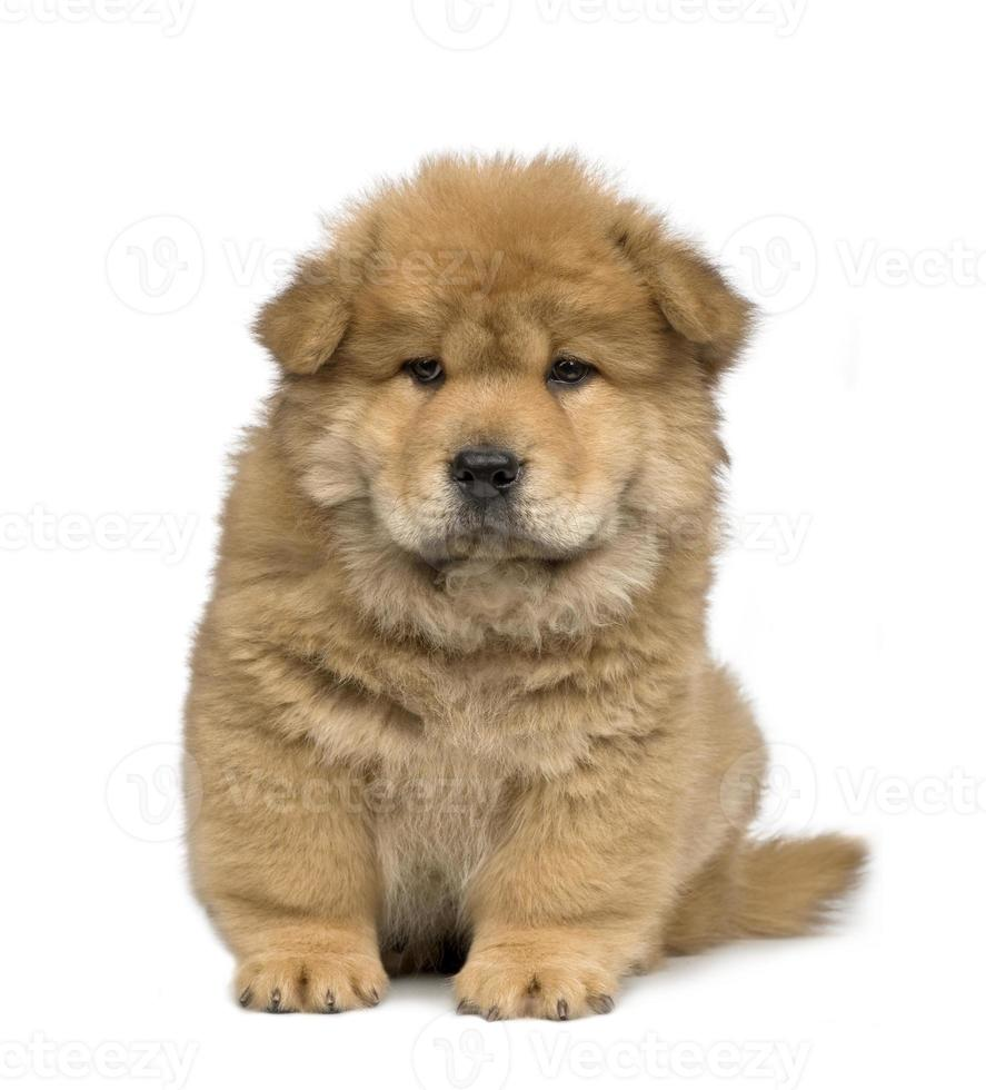 Chow -chow (2 months) photo