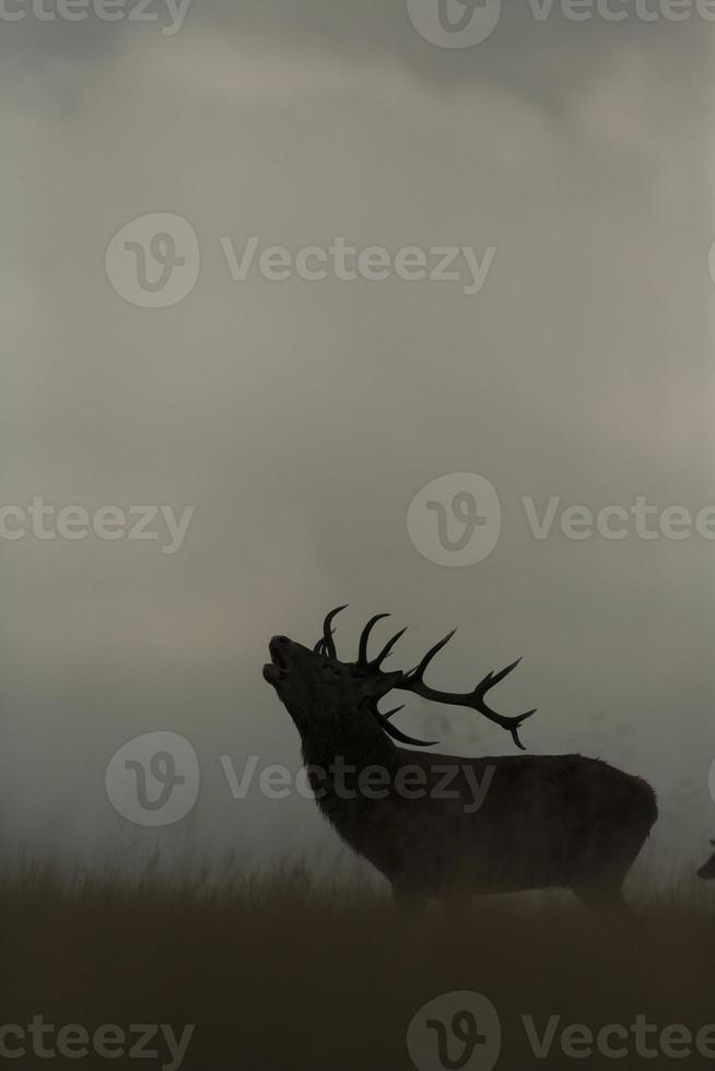 Red deer - Cervus elaphus photo