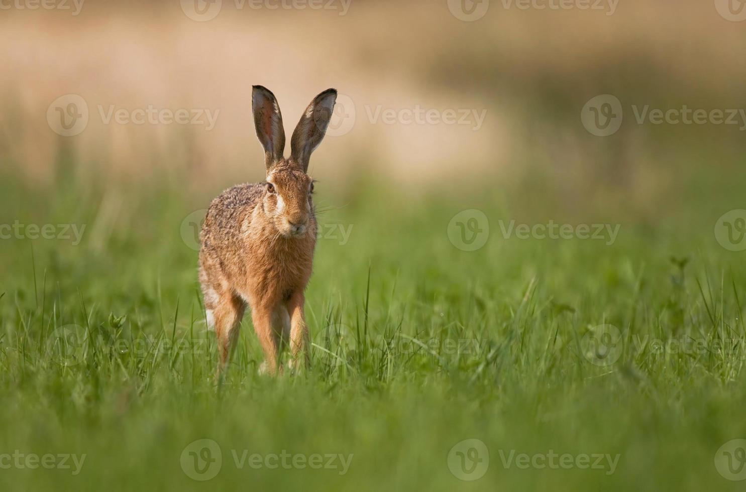 Brown hare photo
