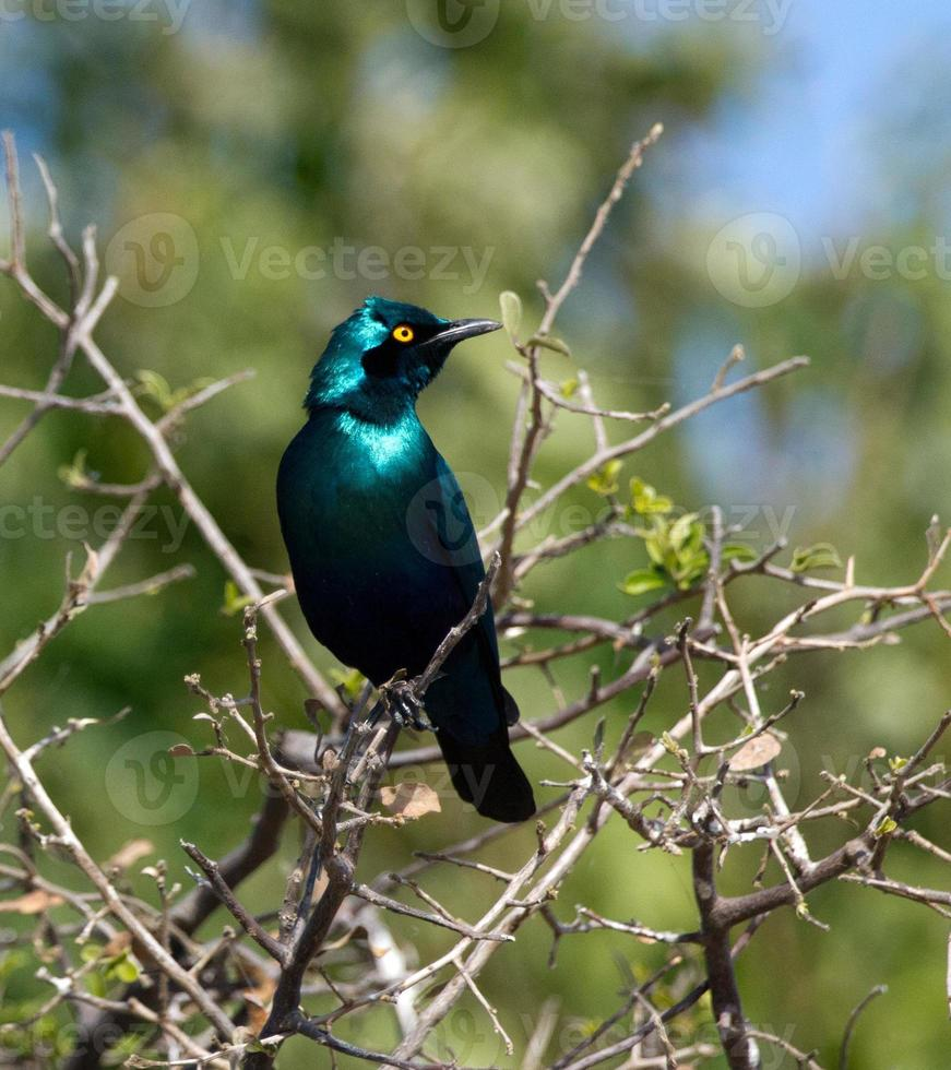 Greater blue-eared starling photo