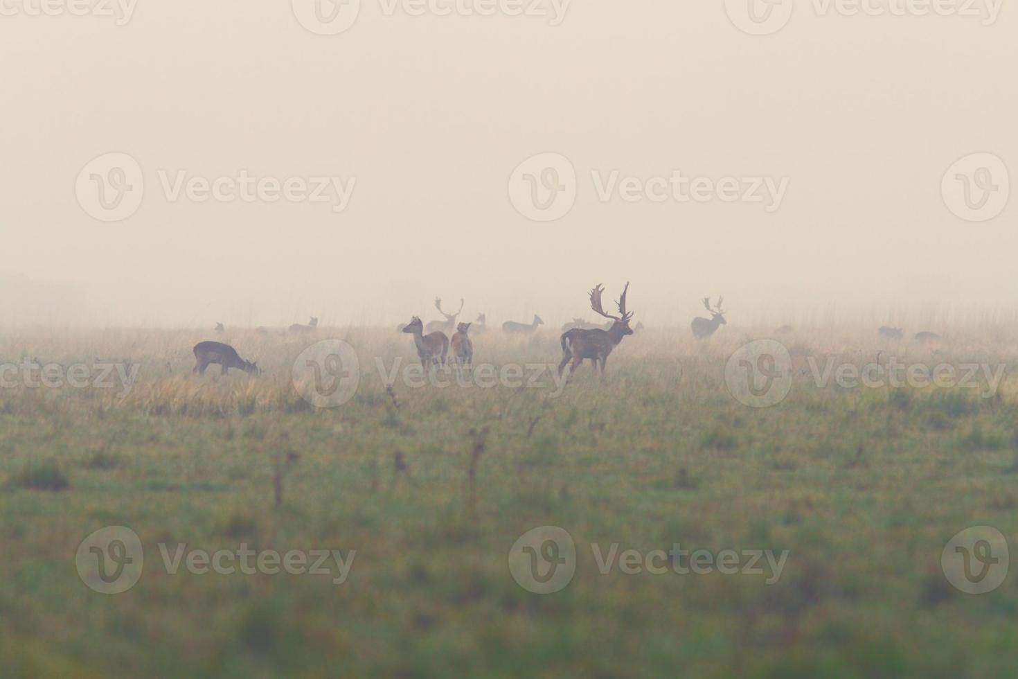 fallow deers in mating season photo