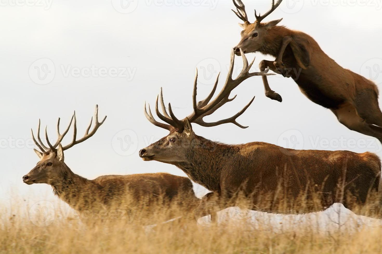 red deer males running together photo