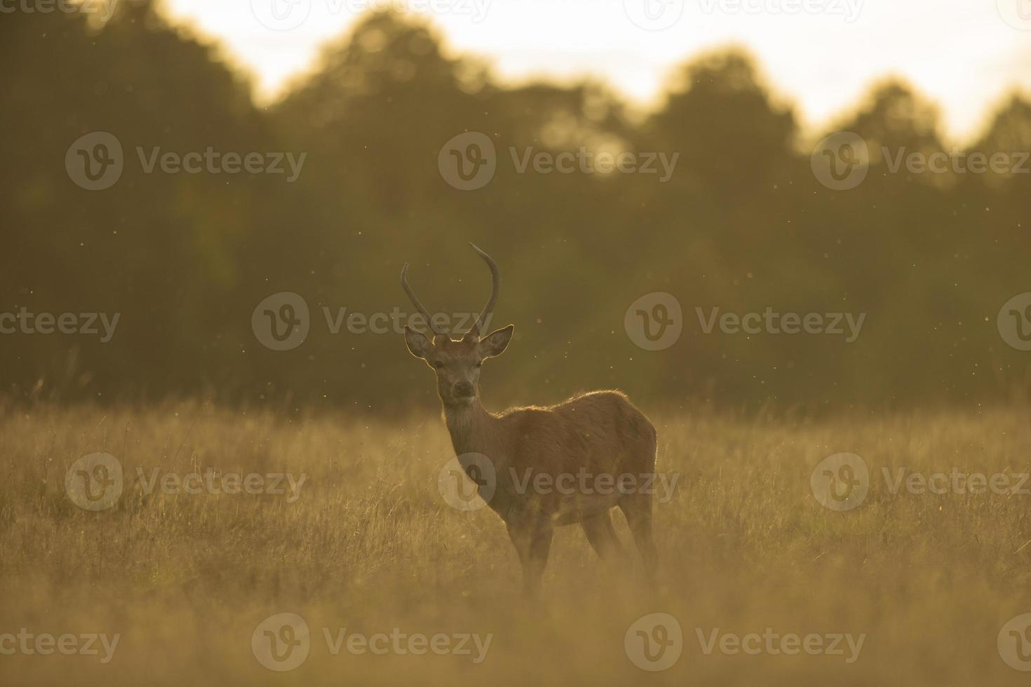 Red deer - Cervus elaphus photo