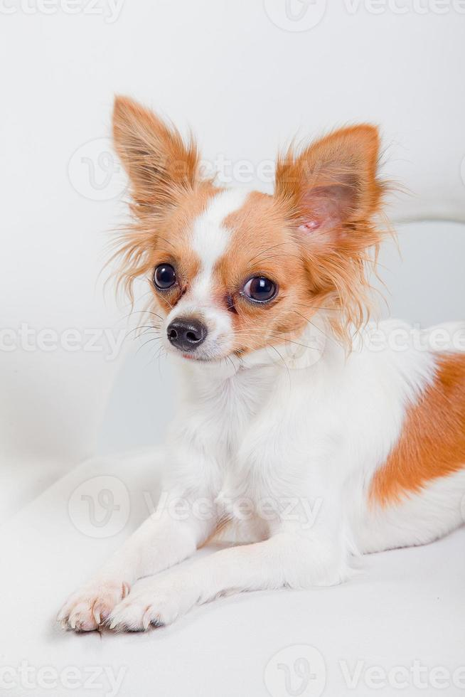 Chihuahua perro acostado sobre fondo blanco. foto