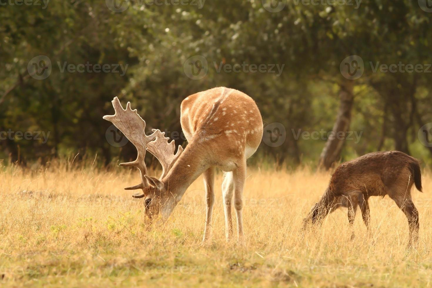fallow deer stag  grazing photo