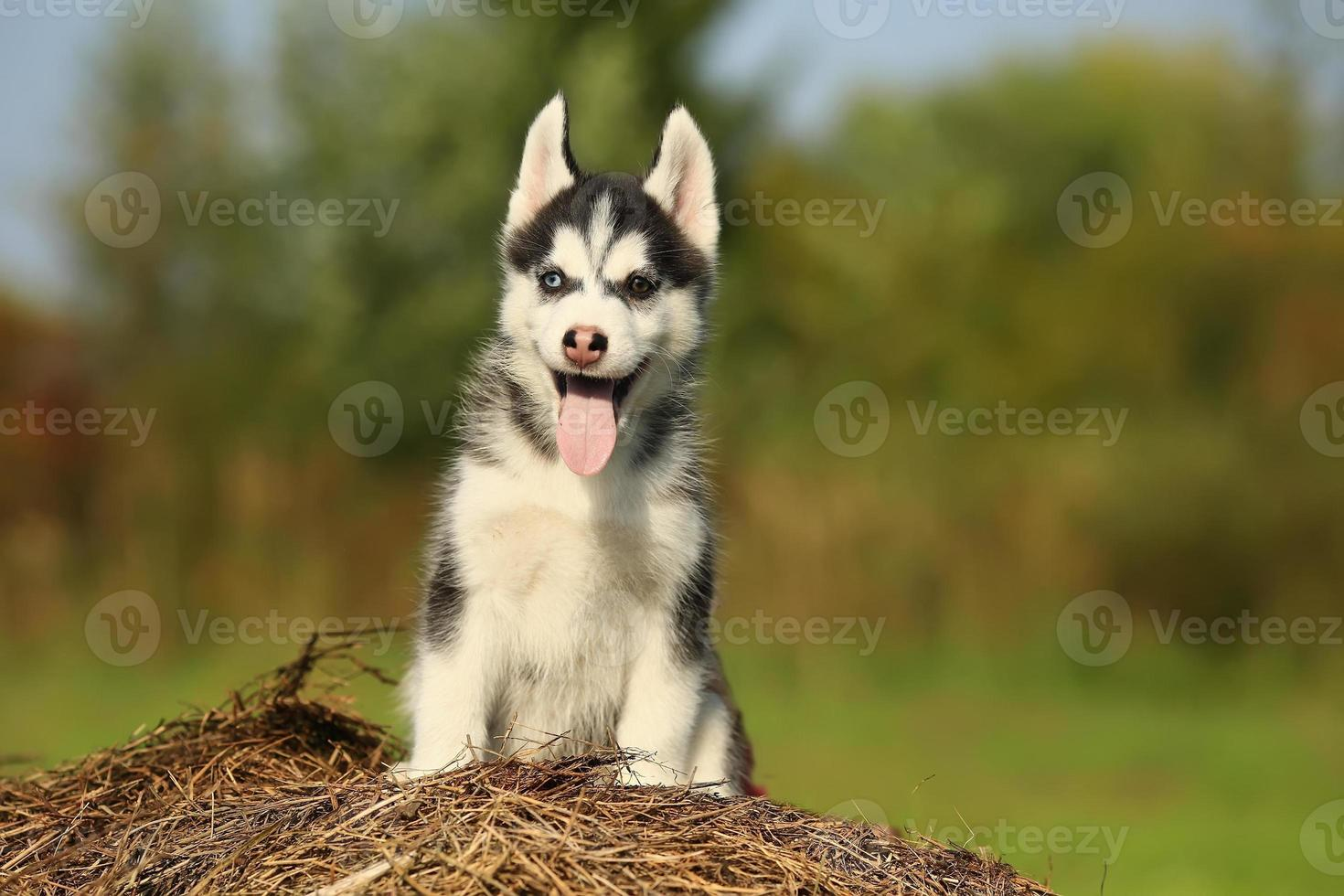 puppy husky with  different color eyes with his tongue hanging photo