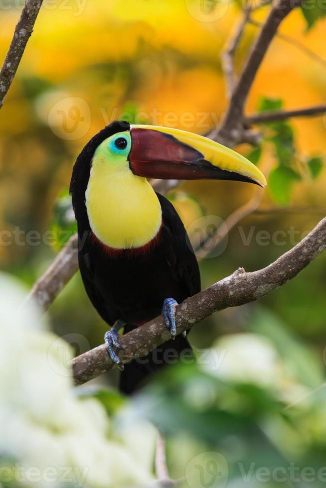 tucán. Costa Rica. foto