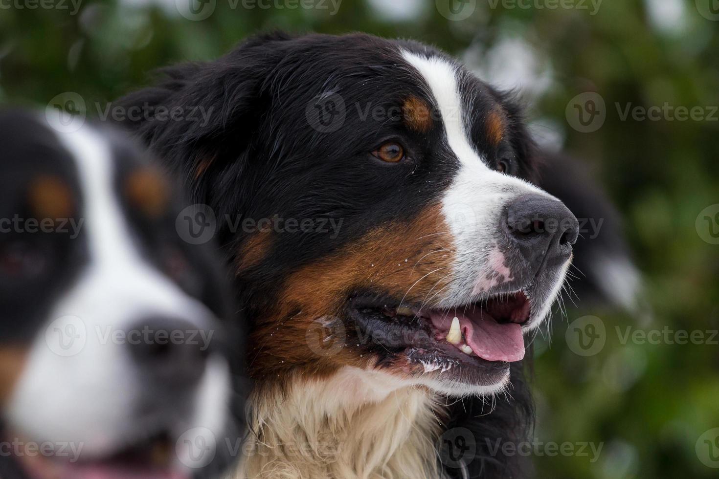 Perro de montaña de Bernese foto