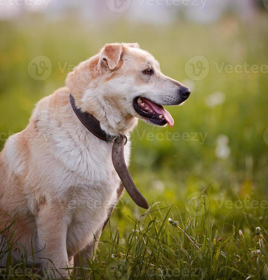 Retrato de un perro de raza no pura en un collar viejo. foto