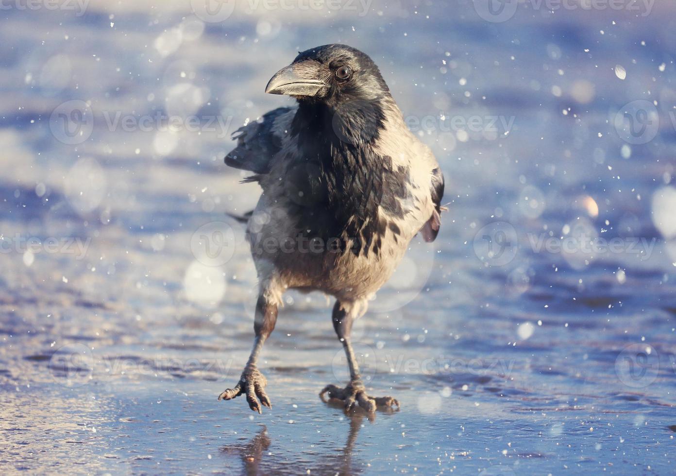 cuervo hielo invierno fauna foto