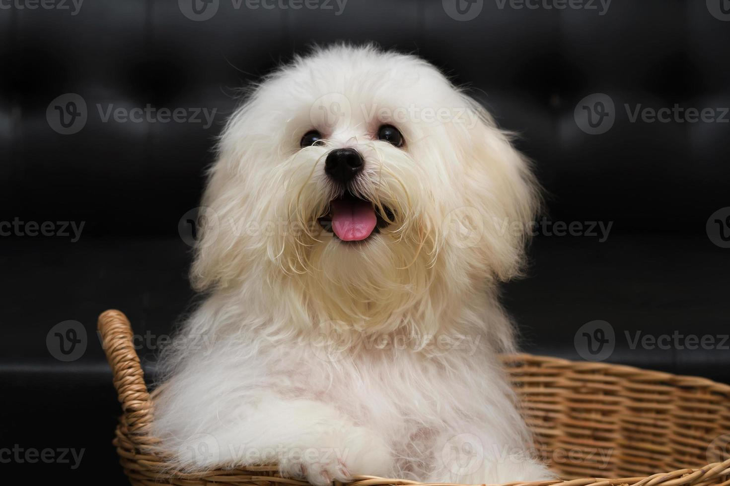 Shih tzu puppy breed tiny dog photo