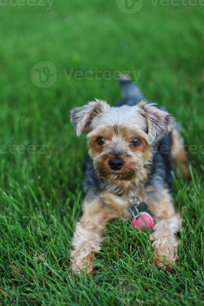 Yorkie terrier in the grass photo