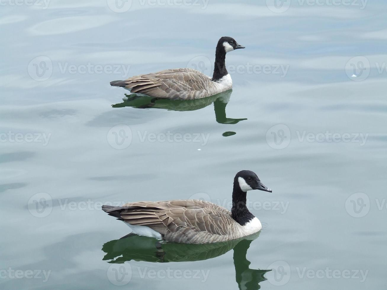 Canada Geese swimming photo