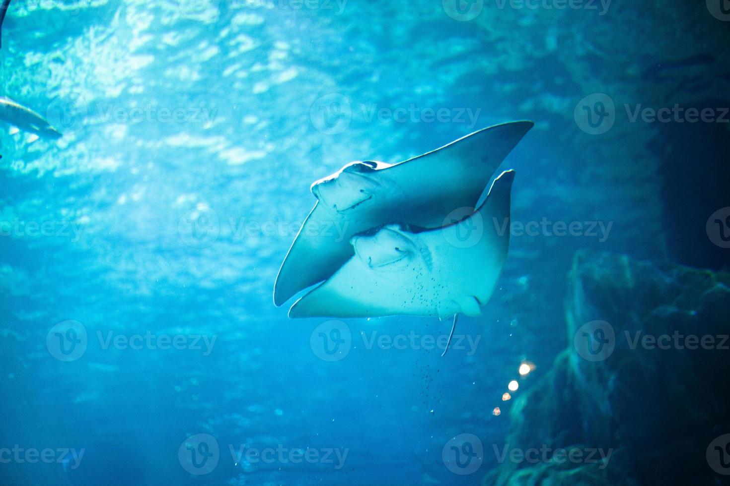 Stingray peces nadando libres en el acuario foto