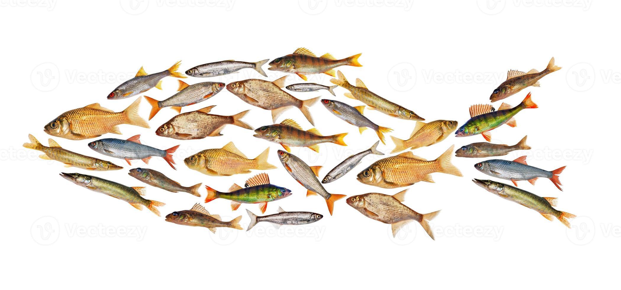 composite freshwater fish isolated on white photo