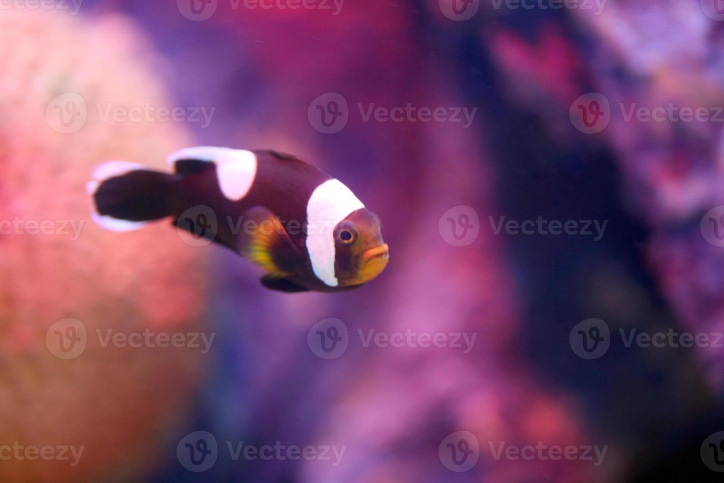pez payaso en la zona del arrecife de coral del mar. foto