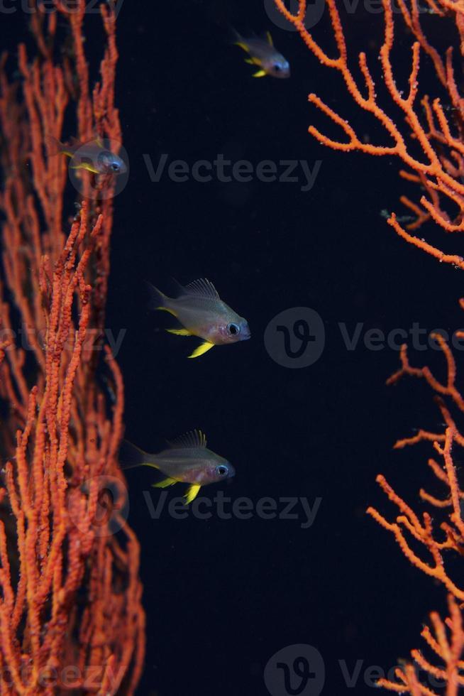 Pale-tail Chromis juvenile (Damselfish) photo