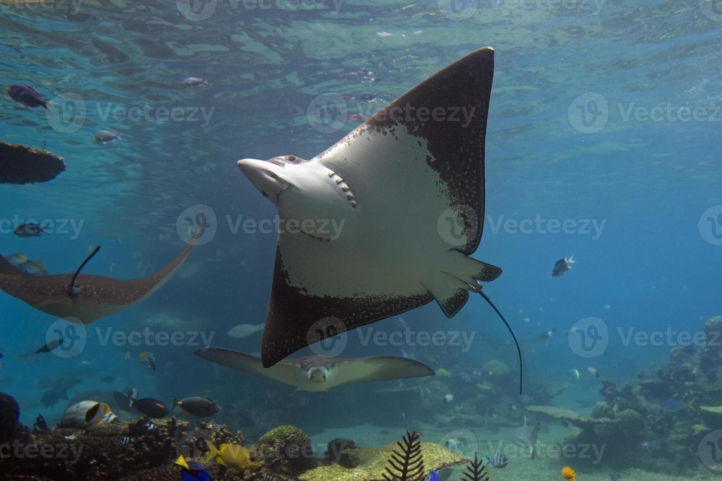 stringray nadando bajo el agua foto