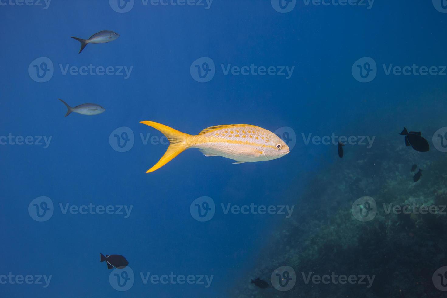 Yellowtail snapper photo