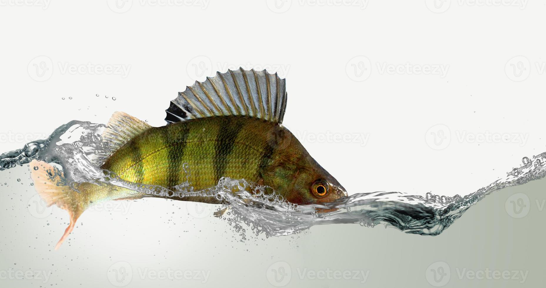 River perch. photo