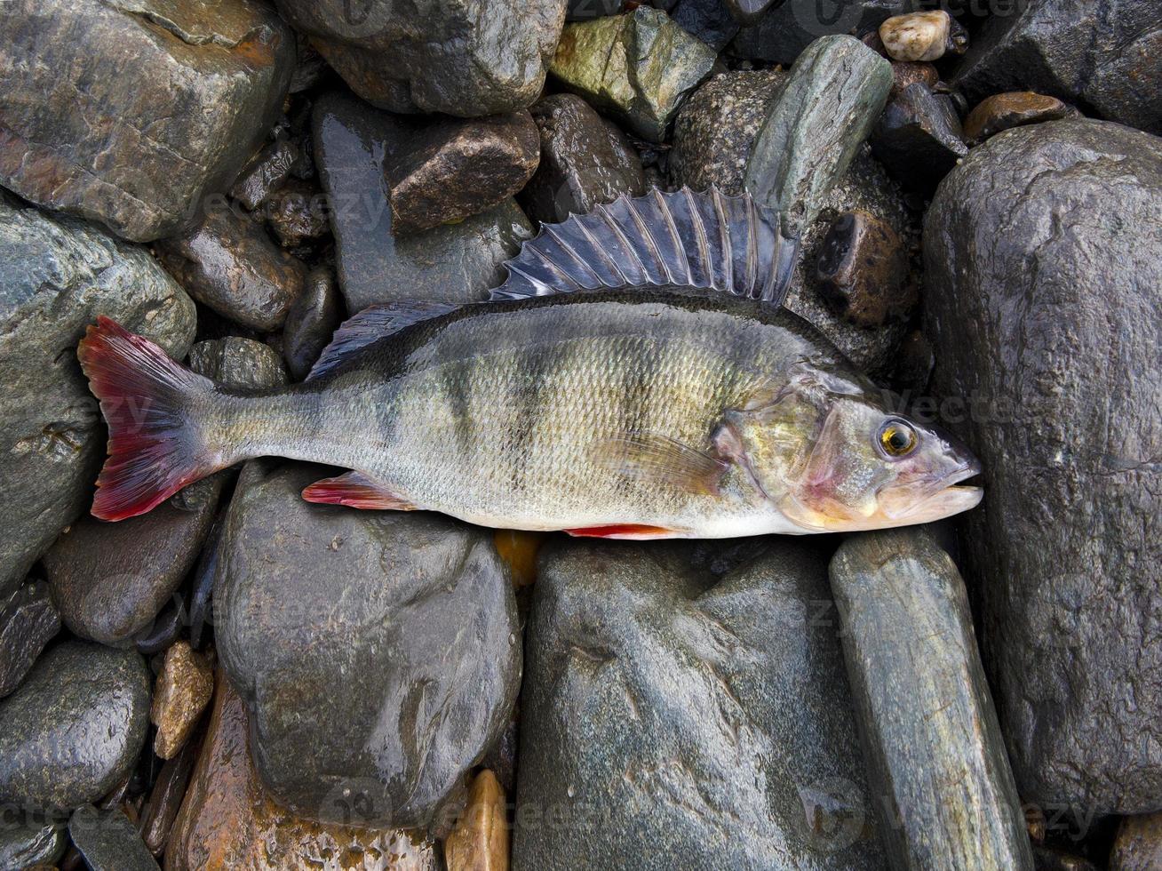 perch, bass, freshwater fish photo