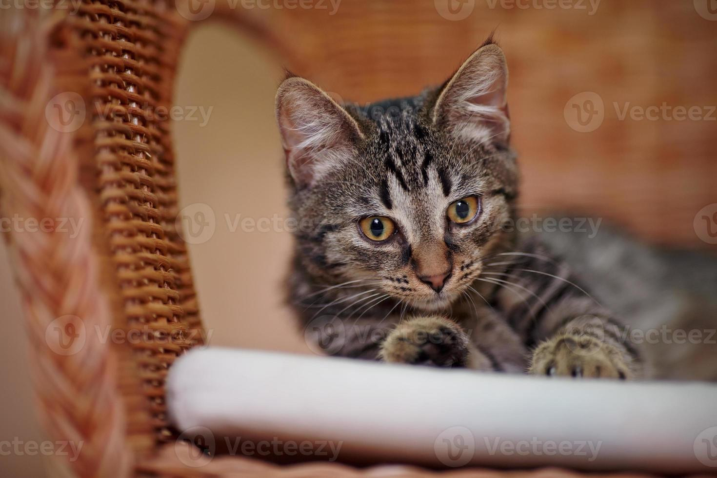 Retrato de un gatito doméstico rayado en una silla de mimbre foto