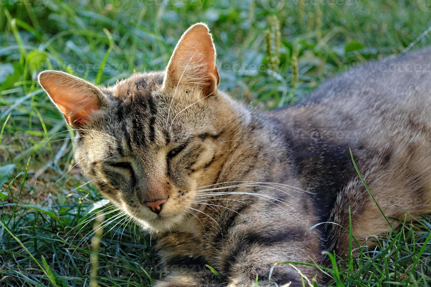 Napping tomcat photo