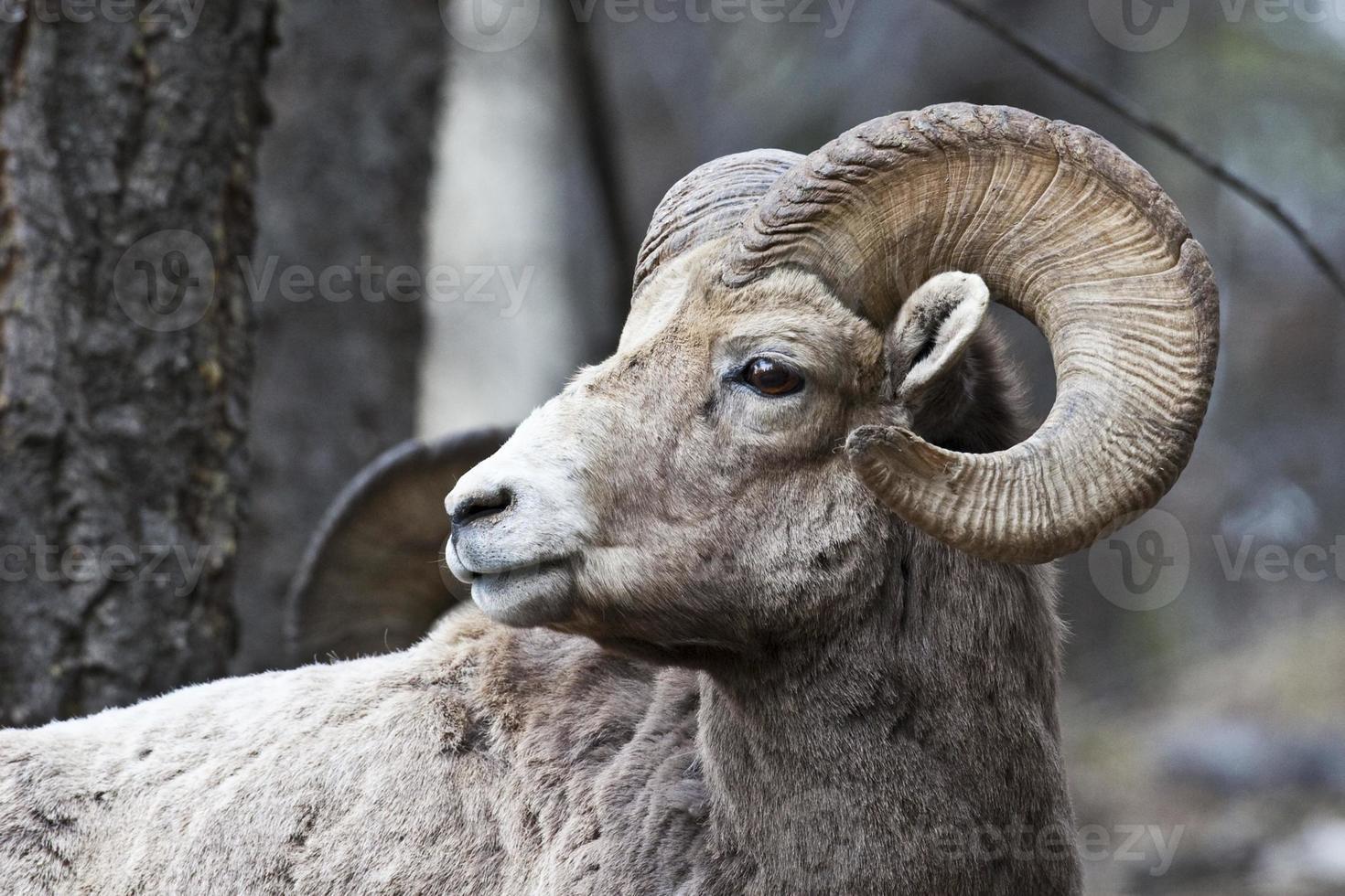 Bighorn Sheep photo