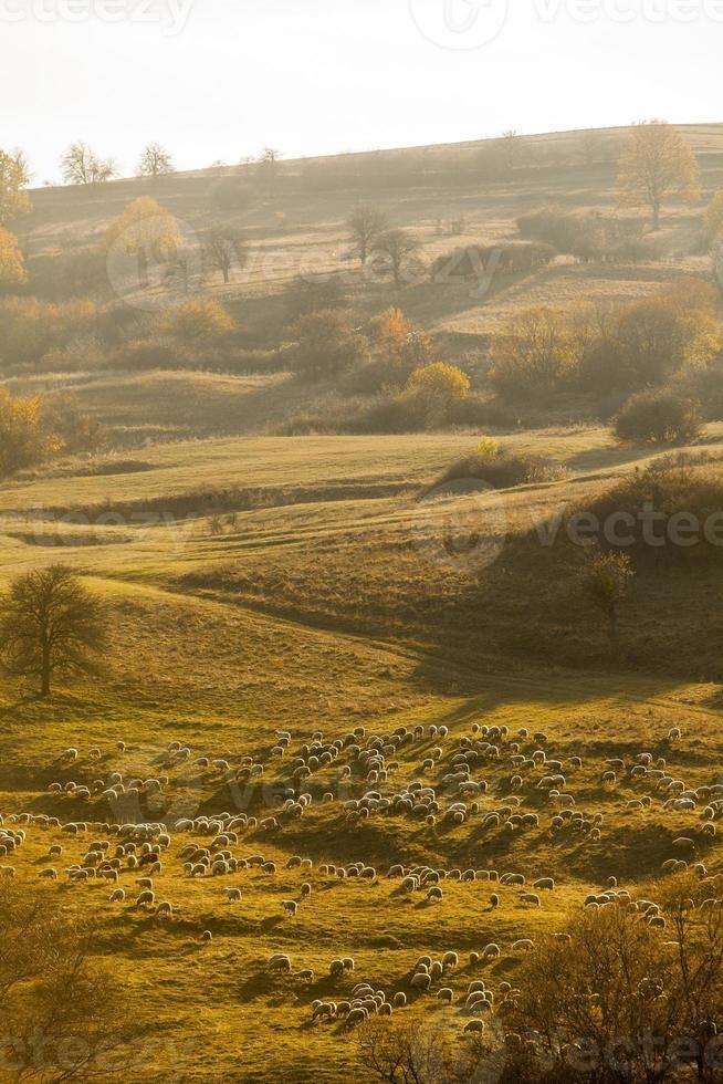 Flock of sheep photo